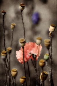 melancholy poppies