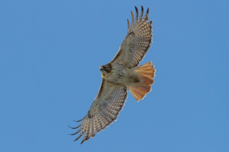 Red-tailed-Hawk Soaring